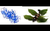 Morus Rubra Lectin (Red mulberry) (MRL)