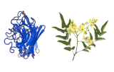 Sophora flavescens Lectin (SFL)