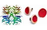 Aleuria aurantia (Orange peel fungus) Lectin (AAL)