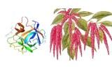 Amaranthus caudatus (ACL/ACA)