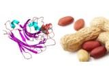 Arachis hypogaea (Peanut) lectin (PNA)