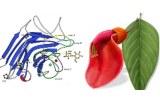 Erythrina cristagalli (ECL/ECA)