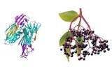 Sambucus nigra Lectin (SNA/EBL I+II)