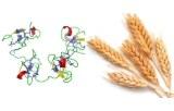 Triticum vulgaris (Wheat) Lectin (WGA)