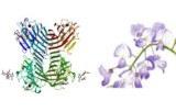 Wisteria floribunda lectin (WFA/WFL)